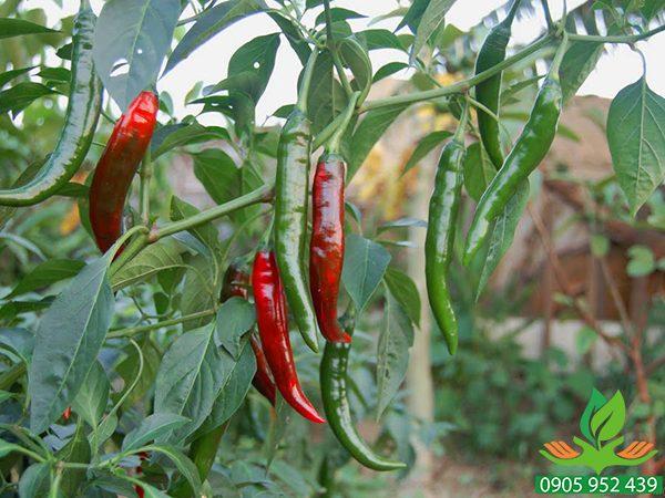 Hạt giống ớt sừng