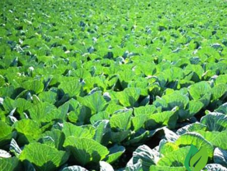 Hạt giống rau cải thảo f1