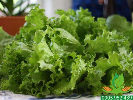 Hạt giống rau xà lách xoăn cao sản